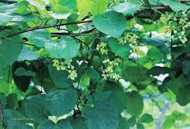 Identification et importance locale des plantes médicinales utilisées dans  la région de Mbanza-Ngungu, République démocrati