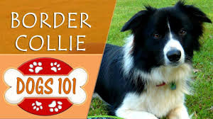 dogs 101 border collie top dog