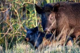 ki feral pigs face post bushfire cull