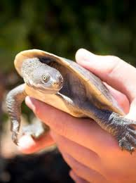Turtle Owner Shell Shocked After Being Reunited With Missing Pet Through Social Media Abc News