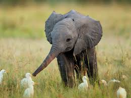 baby elephant wallpapers on wallpaperplay