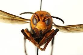 Murder hornets': Washington scientists ...