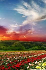 rose flower field background hd ultra