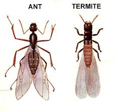 40+ Difference Between Flying Ants And Termites Images