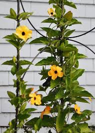 how plants climb climbing plants