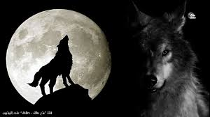 حقائق لا تعرفها عن الذئاب أسرار الذئب الأكثر دهاء والأكثر