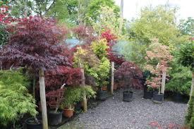stunning japanese maples arundel