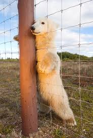 Polar Bear Cub Standing Up Looking Through Wire Fence Canada Kimballstock