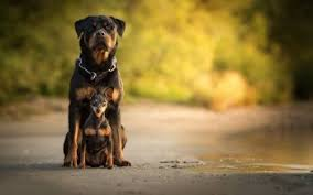 39 rottweiler hd wallpapers