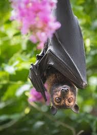 Flying Fox and Crepe Myrtle | Fox bat, Bat animal, Fruit bat