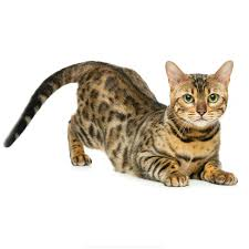 Dawasaru Bengal Cat Funny Car Sticker Personalized Sunscreen Decal Laptop Motorcycle Auto Accessories Decoration Pvc 21cm 11cm Car Stickers Aliexpress