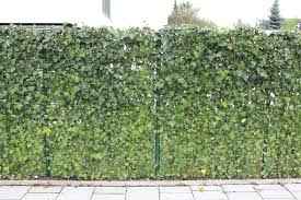This Is Ivy Growing Through A Chain Link Fence I Think Creeping Fig Would Look Good Like A Hedge Don T Thin Fence Landscaping Modern Fence Garden Fencing