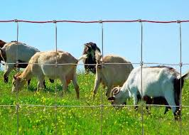 Best Goat Fencing Options And How To Effectively Confine Your Goats