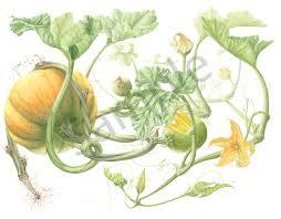 Pumpkin Vine Art | Hillary Parker Watercolors