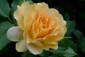 fragrant roses to plant in your garden