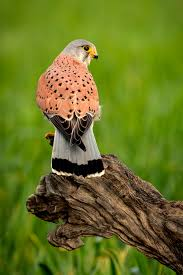 beautiful profile of a kestrel in the