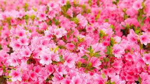 1366x768 pink flowers garden