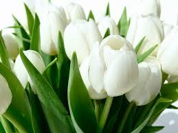 ورد التوليب الابيض اجمل الصور لزهور التوليب الابيض رهيبه