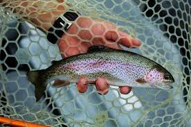 beautiful rainbow trout fish brn