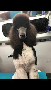 standard poodle puppies in hoobly