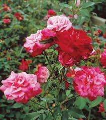 Landscaping With Antique Roses Finegardening