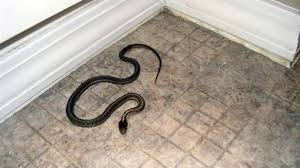 Idaho House Infested With Snakes Ex Residents Say The San Diego Union Tribune