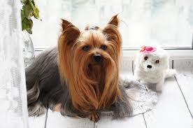 toys for yorkies and yorkie puppies