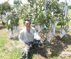 big profits from small mango trees