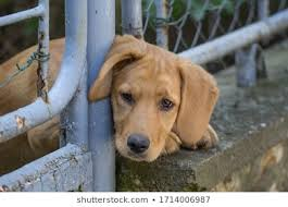 Dog Looking Through Fence Images Stock Photos Vectors Shutterstock