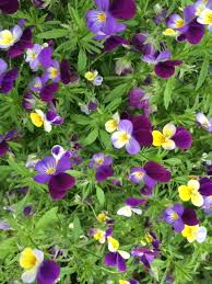 Heartsease plugs (Viola tricolor) | UK Delivery | Naturescape