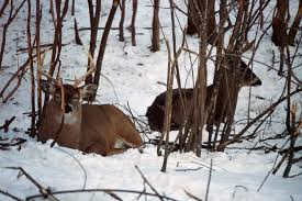 whitetail beds and bedding areas