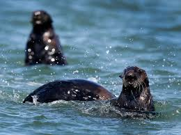sea otters revives