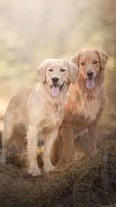 wallpaper two dogs golden retriever