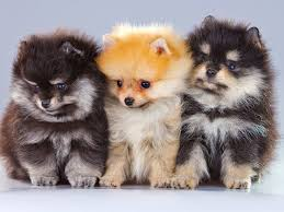 pomeranian puppies and dogs