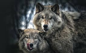 تحميل خلفيات الذئب و ذئبة الحياة البرية الذئاب الأسرة خوخه
