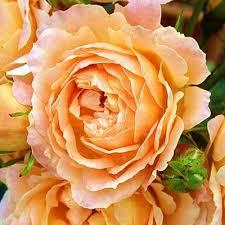 Garden Rose Mayra Peach - Garden Rose - Roses - Flowers by category    Sierra Flower Finder