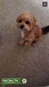 toy poodle chihuahua mix