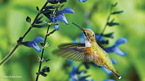 10 plants to attract hummingbirds to