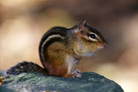 Eastern Chipmunk | MDC Discover Nature