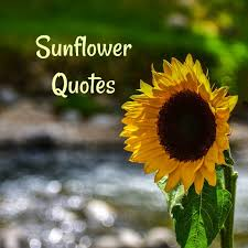 sunflower quotes best sunflower sayings images