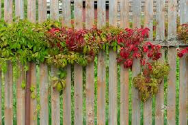 A Guide To Growing Fence Friendly Vines American Fence Company Hinesville Nearsay