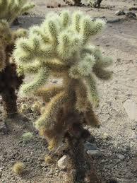 picture of cholla cactus garden