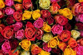معاني ألوان الورود ورسالة كل منها هل كنت تعرفينها