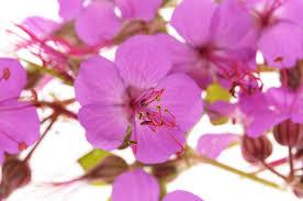 geranium macrorrhizum dry shade