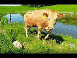 Mother Cow Clearly Asks Man To Rescue Her Newborn Calf Youtube