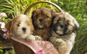 cute puppy wallpaper wallpapers for