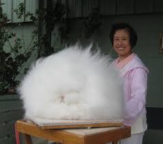أرنب أنقرة أغرب أرنب في العالم معرض الصور البيان