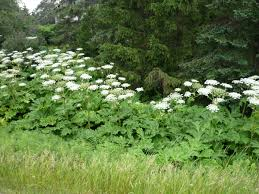 Giant Hogweed – Ontario's Invading Species Awareness Program