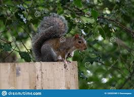 Common Grey Squirrel On A Fence Stock Image Image Of Gardens Common 128253369