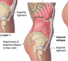 Image result for internal abdominis